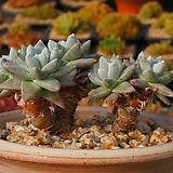 화이트그리니,목대|Dudleya White gnoma(White greenii / White sprite)