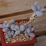 문스톤,묵은목대|Pachyphytum Oviferum Moon Stone
