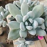 후레뉴12127|Pachyphtum cv Frevel