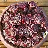 라우렌시스|Echeveria Laulensis