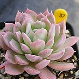블렛블루아나 37|Echeveria bradburiana