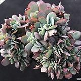 줄리아철화 Echeveria cv.Jyulia