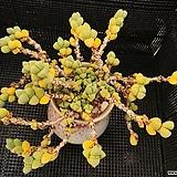 벽어연 1213-3|Corpuscularia lehmanni