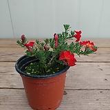 초연초 빨강|