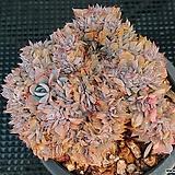양로철화 1214-9|Echeveria peacockii subsessilis