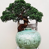 사어천 진백 (청자항특수완성분) 나-29 대품 고급식물 승진선물 인테리어식물 축하화분|