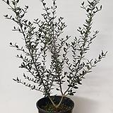 [초특가할인]올리브나무#1|