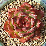 파이어필라|Echeveria Fire Pillar