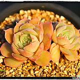 온슬로우군생(자연)|Echeveria cv  Onslow