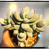 방울복랑군생|Cotyledon orbiculata cv