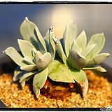 환엽블러쳐스2두(뿌리튼실)|Dudleya farinosa Bluff Lettuce