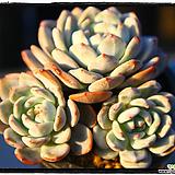 오렌지먼로군생대품(자연,목대)|Echeveria Monroe(Orange)