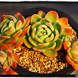 라즈아가군생중품(자연)|Echeveria agavoides sp