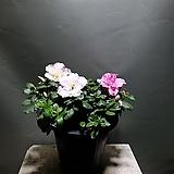 철죽 철쭉 중품 야생화 공룡꽃식물원 50|