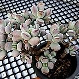 방울복랑 군생 묵은둥이-10 Cotyledon orbiculata cv