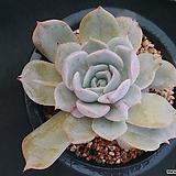 릴리시나변이 1215-7|Echeveria lilacina