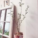 고려자귀 빈티지플랜트(분홍의 단아한 꽃이피는 아름다운 수형)토분세트/약 50cm|
