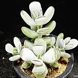 방울복랑금무지26|Cotyledon orbiculata cv variegated