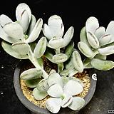방울복랑금무지27|Cotyledon orbiculata cv variegated