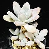 성미인37|Pachyphytum oviferum