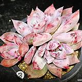 원종콜로라타63|Echeveria colorata
