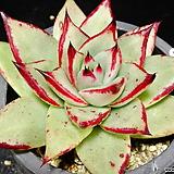 멕시코야생마리아65|Echeveria agavoides Maria