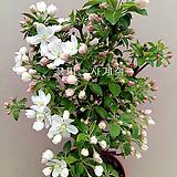 애기사과나무(외목분재대품/1)-동일품배송|