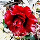 블랙매직동백/5-동일품배송|