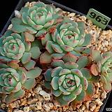아즐리타 963 (작지만묵은아이) Echeveria Azulita
