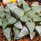 명창 피그마에아 금(무금묘)(明窓 pygamea 錦(無錦苗))-09-22-No.6886|Haworthia pygmaea