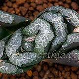 실방 옥선 몬스터(実方 玉扇 Monster)-09-22-No.2372|Haworthia truncata