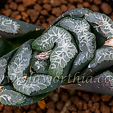 실방 옥선 몬스터(実方 玉扇 Monster)-09-22-No.497|Haworthia truncata