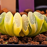 옥선 금(호반)(玉扇 錦(糊斑))-09-22-No.6972|Haworthia truncata variegated