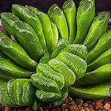 그린옥선(Green truncata)-09-22-No.541|Haworthia truncata