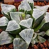 피그마에아 실생-백은(pygmaea 實生-白銀)-09-22-No.1284|Haworthia pygmaea