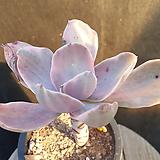 데코라금|Echeveria gibbiflora Decora