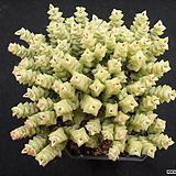 희성금1216|Crassula Rupestris variegata