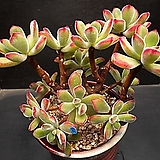 금황성 14두(자연군생)|Echeveria pulvinata