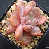 가시후레뉴1216|Pachyphtum cv Frevel