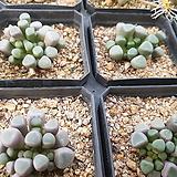 오십령옥(중)|Fenestraria aurantiaca
