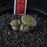 XP3256-C.angelicae ssp.tetragonum PVB9479  엔젤리케 테트라고눔2두|