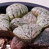 하월시아성체반구형|haworthia