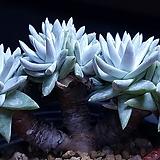 화이트그리니 자연군생목대(굵은 멋진목대)|Dudleya White gnoma(White greenii / White sprite)