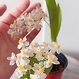 환타지아 화이트(꽃이 아름답고 오래가요)|Echeveria Fantasia Clair