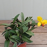 미니카틀레아 옐로우돌/3꽃대|