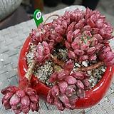 핑클루비묵둥이62|Sedeveria pink rubby