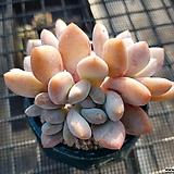후레뉴 묵은둥이 Pachyphtum cv Frevel