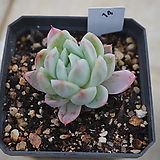 (1月)트윈베리14|Echeveria Twin Berry