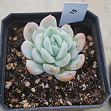 (1月)트윈베리15|Echeveria Twin Berry