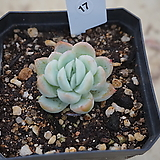 (1月)트윈베리17|Echeveria Twin Berry